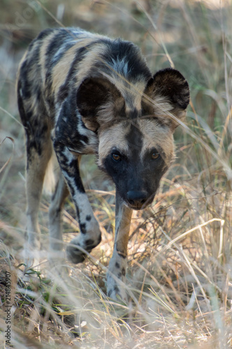 Wild dog African Safari Zambia Wildlife Canvas Print