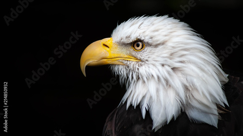 Canvas Prints Eagle American Bald Eagle
