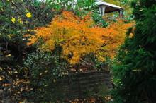 Viridis Japanese Maple In Autumn