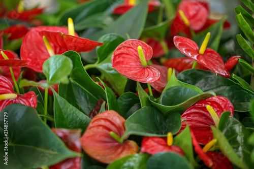 Photo Blooming red anthurium flowers, closeup. Tropical plant