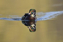 Wood Duck (Aix Sponsa), Escape...