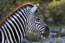 Plains Zebra Or Burchell's Zebra (Equus Quagga), Portrait, Etosha National Park, Namibia, Africa