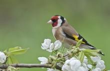 Goldfinch (Carduelis Carduelis...