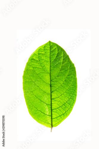 Tuinposter Decoratief nervenblad green leaf on a white background