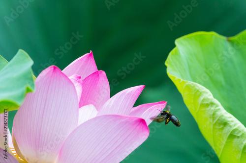 Foto op Canvas Lotusbloem lotus flower closeup with bee