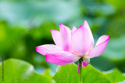 Staande foto Lotusbloem beautiful lotus flower closeup