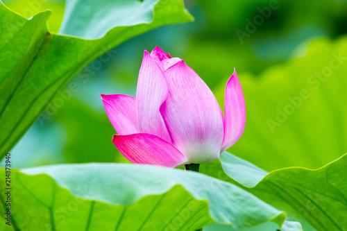 Fotobehang Lotusbloem lotus flower closeup