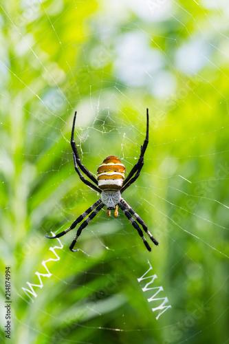 Plakat zbliżenie pająk osa