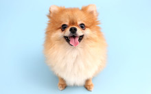 Pomeranian Dog With Blue Backd...