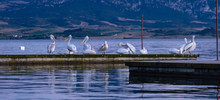 Flock Of Pelicans Preening And Resting On Pier By The Sea, Banner, Wallpaper.