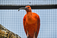 Scarlet Ibis In A Cage At The Artis Zoo Amsterdam The Netherlands 2018