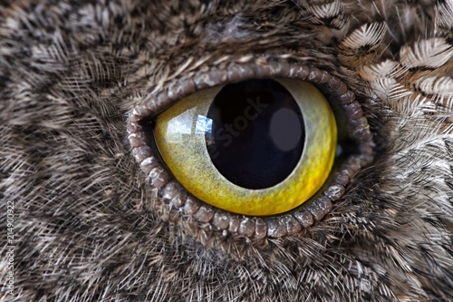 Obraz Owl eye close-up, macro photo, eye of the European scops owl (Otus scops) - fototapety do salonu