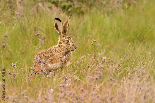 Obraz na plátne Iberian Hare - Lepus granatensis - The Granada hare, also known as the Iberian h
