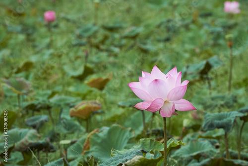 Foto op Canvas Lotusbloem Beautiful Pink Lotus Flower And Lotus Leaf.