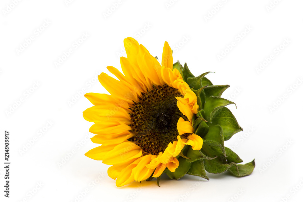 sunflower on wooden background (Helianthus)