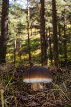 Boletus Edulis, Fungi, Comesti...