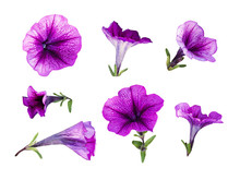 Set Of Purple Petunia Flowers