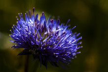 Marian Thistle Flower