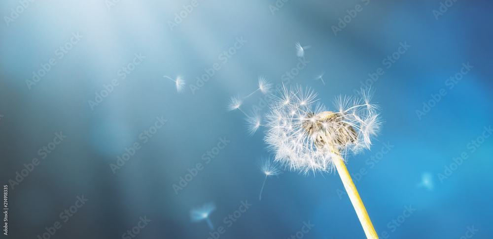 Fototapety, obrazy: Fragile dandelion in front of an abstract blue backround with sunrays