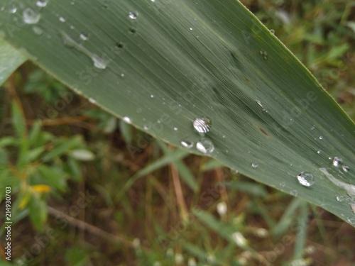 Fotografie, Obraz  sedge leaf with drops of dew
