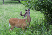 White-tailed Deer Buck In The Early Morning Light With Velvet Antlers Eating Leaves In Spring In Canada