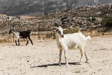 Chèvre De Montagne En Grèce