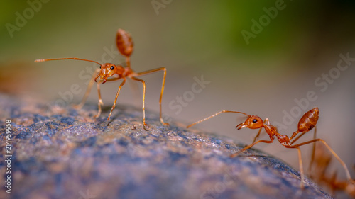 Zdjęcie XXL Działające czerwone mrówki