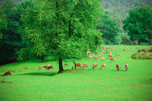 A Herd Of Deer Graze On A Green Lawn In A Natural Park
