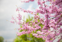 Cercis Griffithii (Eastern Red...