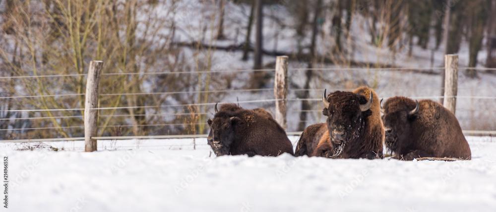 Bisonherde liegend im Schnee
