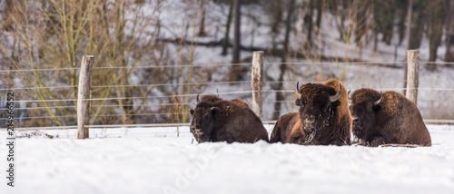 Fototapety, obrazy: Bisonherde liegend im Schnee