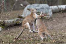 Kämpfende Kängurus
