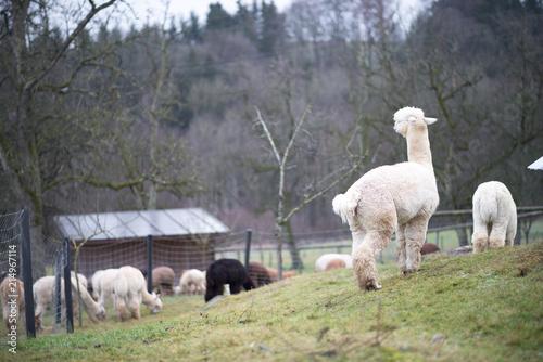 Alpacas Auf Weide In Garten 3 Buy This Stock Photo And Explore
