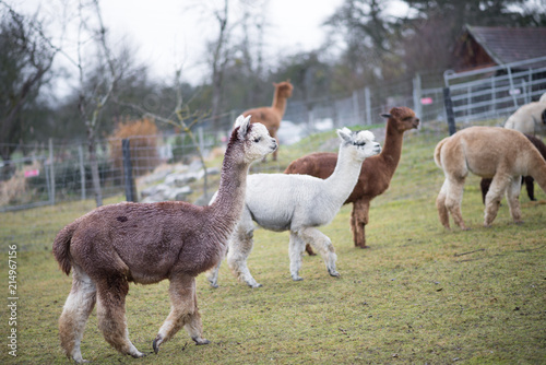 Alpacas Auf Weide In Garten 2 Buy This Stock Photo And Explore