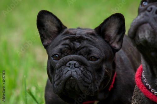 Foto op Plexiglas Franse bulldog Young french bulldog close up. Pet animals.