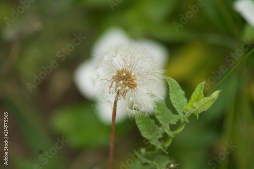 Photo  White Dandelion Against a White Flower