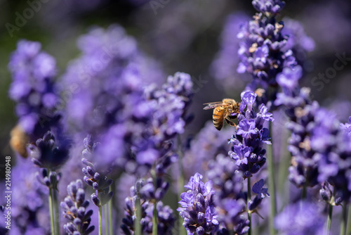 Honey bee gathering pollen in a field of lavender Wallpaper Mural