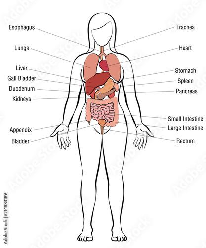 Internal Organs Female Body Schematic Human Anatomy Illustration