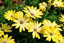 Daisybush (osteospermum)
