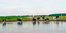 Biebrza Natural Park  - Cows C...