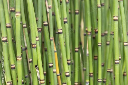 Foto op Plexiglas Groene Bunch of clumping Japanese Horsetails growing in a garden