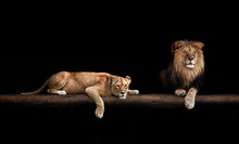 Lion And Lioness, Animals Family. Portrait In The Dark, After Sex