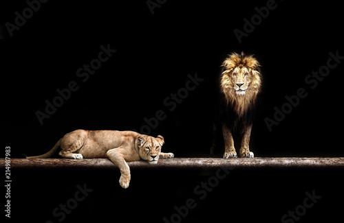 Zdjęcie XXL Lew i lwica, rodzina zwierząt. Portret w ciemności, po seksie