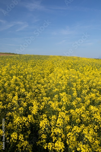Fotobehang Cultuur Mustard field on a sunny day