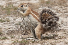 Ground Squirrel In Etosha Nati...