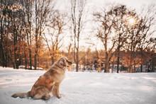 Golden Retriever Dog Standing ...