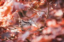 Two Hummingbirds In Their Nest...