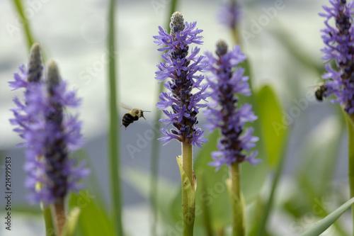 Tuinposter Lavendel Pontédérie cordée, fleur sauvage aquatique Pickerelweed