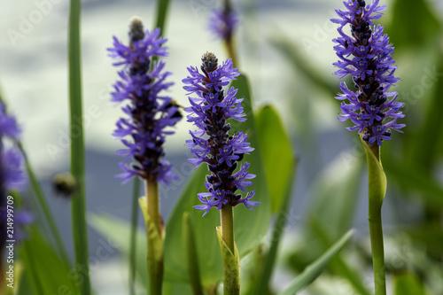 Foto op Aluminium Lavendel Pontédérie cordée, fleur sauvage aquatique Pickerelweed
