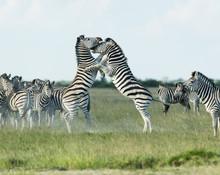 Zebras Fighting In Grassy Land...